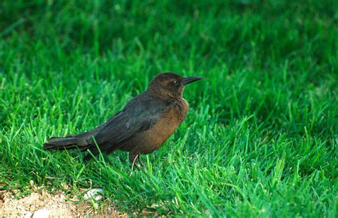 NW Bird Blog: Great tailed Grackle