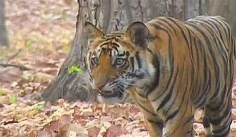 Objetivo: duplicar la población de los tigres para el Año ...