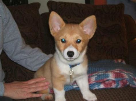 OCD: Obsessive Corgi Disorder, Gorki as a puppy submitted ...