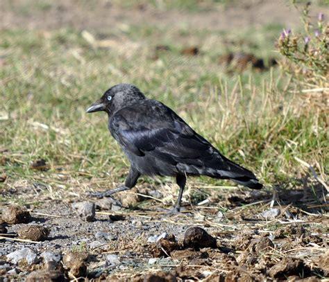Ocells del Camp i la Conca de Barberà.: Gralla.
