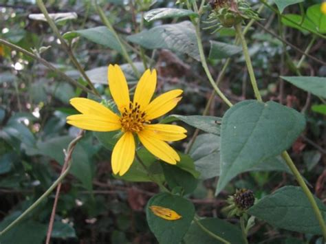 October Blooming Native Sunflowers | HubPages