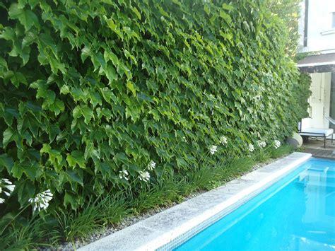 ODA al VERDE, pared vegetal: enredadera tapizante. green ...