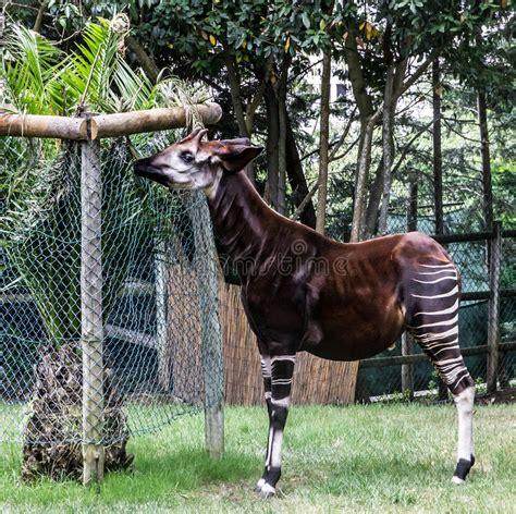 Okapi Feeding, Lisbon Zoo Park Stock Photo   Image of ...
