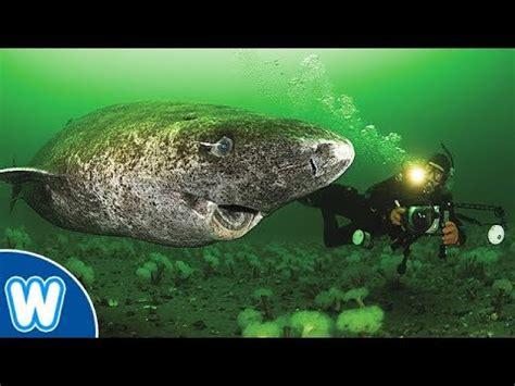 Oldest Shark in the World   512 Year Old Greenland Shark ...