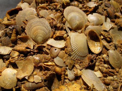 Oligocene Bivalve and Gastropod Fossils