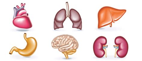Omniprex News   Siete órganos sin los que puedes vivir