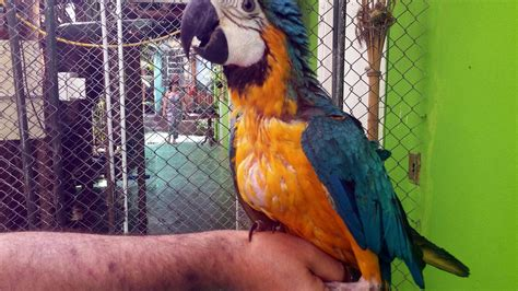Onde comprar aves silvestres legalmente em Santos