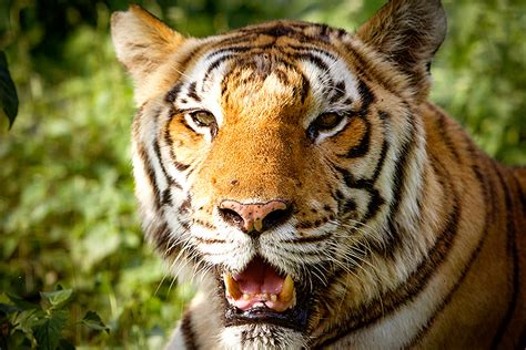 Only 100 Tigers Are Left in Bangladesh's Famed Forest ...