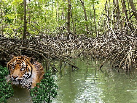Only 106 tigers left in the Sundarbans in Bangladesh