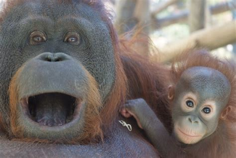 Orangután de Borneo | Wiki Animales peligro de extincion ...