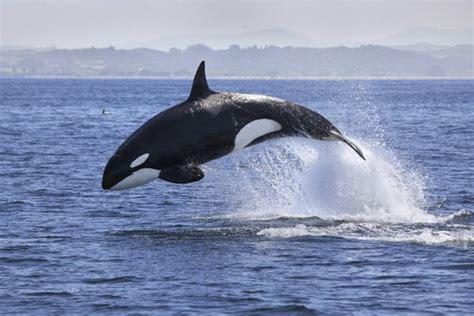 Orca: Características, comportamiento y hábitat — Mis animales