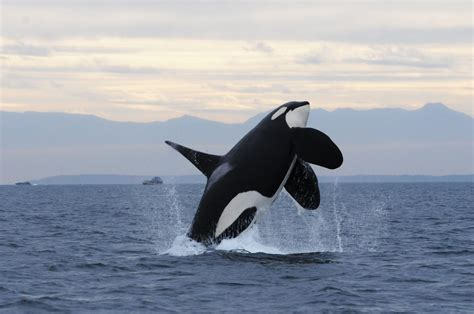 Orca Killed by Satellite Tag Leads to Criticism of Science ...