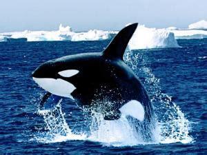 Orca, la asesina de ballenas.   La BioZoona