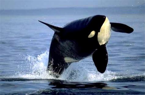 Orca  Orcinus orca  | The Life of Animals