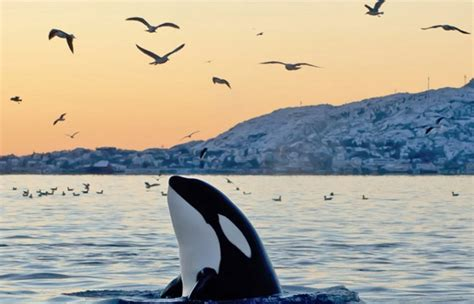 Orcas en peligro de extinción   LVDS