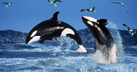 Orcas, los lobos del mar   BioBalears