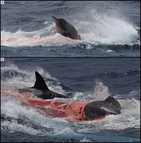 Orcas seen killing and eating beaked whale and sevengill shark