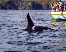 Orcinus orca   Wikipedia, la enciclopedia libre