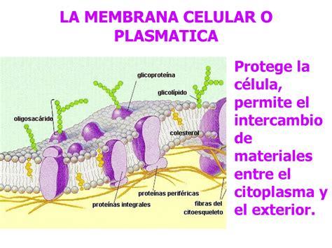 Organelas, membrana plasmatica ou celular   Docsity