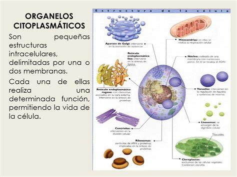ORGANELOS CITOPLASMATICOS
