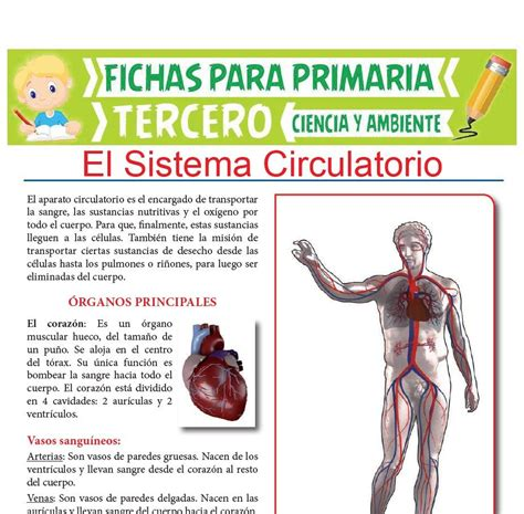 Órganos Principales del Sistema Circulatorio para Tercero ...