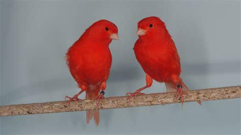ornitologia valencia: CANARIOS LIPOCROMOS