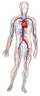 Os Fieirinhos: O Nosso Corpo: sistema circulatório e ...