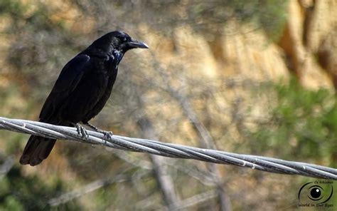 Os Rikinhus: Família  Corvidae   Corvos