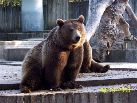 Oso de el zoo de Madrid | Brown bear, Animals, Bear