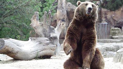 Oso pardo   Zoo de Madrid   YouTube