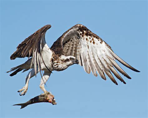 osprey, raptor, bird of prey   image #475355 on Favim.com