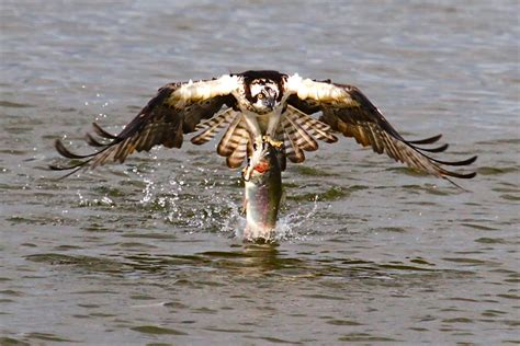 Osprey with Trout – Focusing on Wildlife