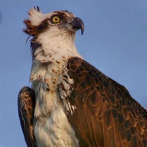 Ospreys | British Bird Of Prey Centre Wales
