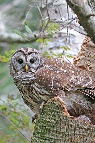 Owls: North American Birds of Prey   Birds and Blooms