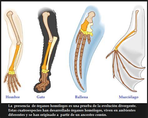 P 95 El proceso por el cual una especie evoluciona a dos o ...