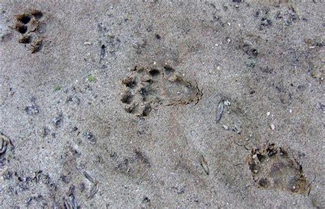 Páginas sobre huellas y rastros. III   Pasos de Fauna