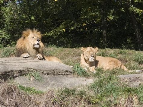 Pair of Lions in the Pittsburgh Zoo, Pennsylvania ...