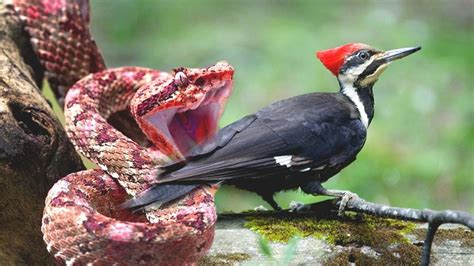 Pájaro carpintero lanza serpientes desde el acantilado ...