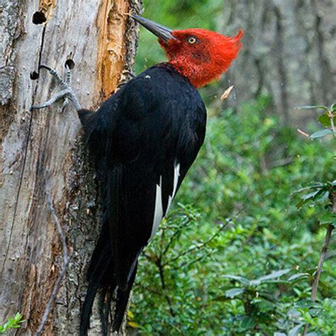 pájaro carpintero.Patagonia. | Pajaros, Aves de chile ...