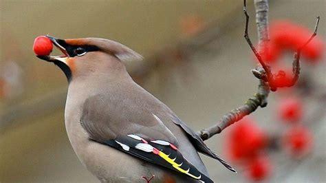 Pájaros alcoholizados siembran el caos en un pueblo ...