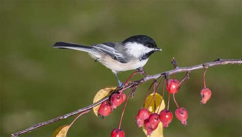 Pájaros beodos en Minnesota