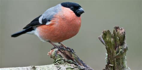 Pájaros Camachuelos :: Imágenes y fotos