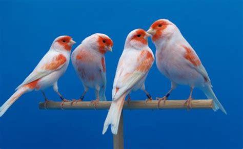 pajaros canarios   Buscar con Google   Canarybird   Canary ...