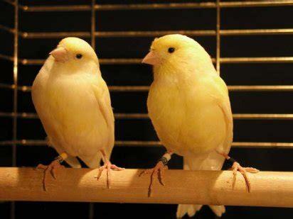 pajaros canarios
