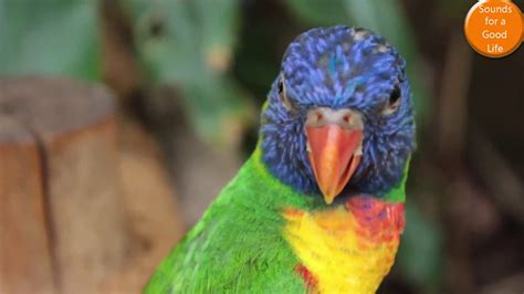 PAJAROS CANTANDO EN EL BOSQUE   SINGING BIRDS IN THE ...