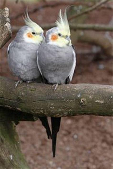 pájaros domésticos | Aves   Part 2