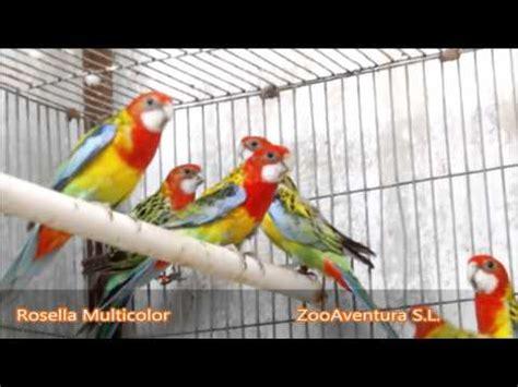 Pajaros en Venta    Rosellas    Zoo Aventura S L   YouTube