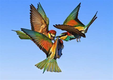 Pájaros Exóticos De La Batalla épica En El Cielo Imagen de ...