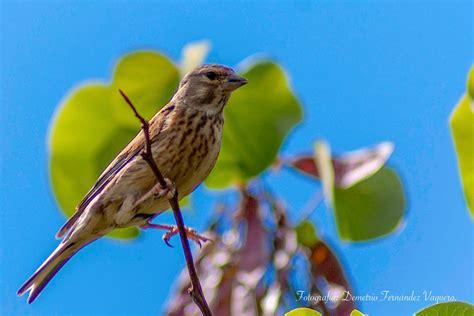 Pájaros insectívoros y cantores   2 fotografías ...