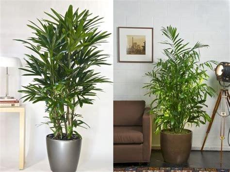 Palmerita China. Plantas de interior resistentes   Plantas ...